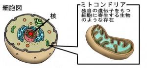 ミトコンドリア組織図