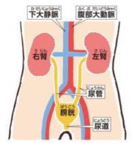 腎臓の画像